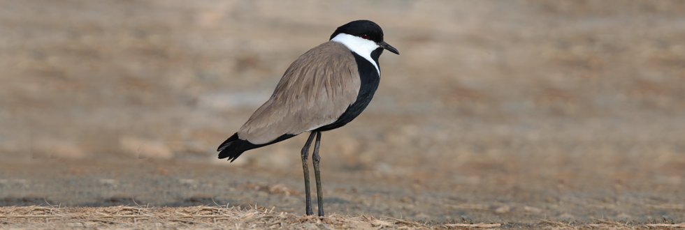 Spur-winged Lapwing, S. Christodoulides