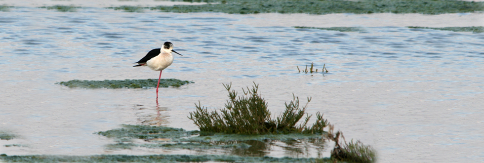 Black-winged Stilt, J. Osborne