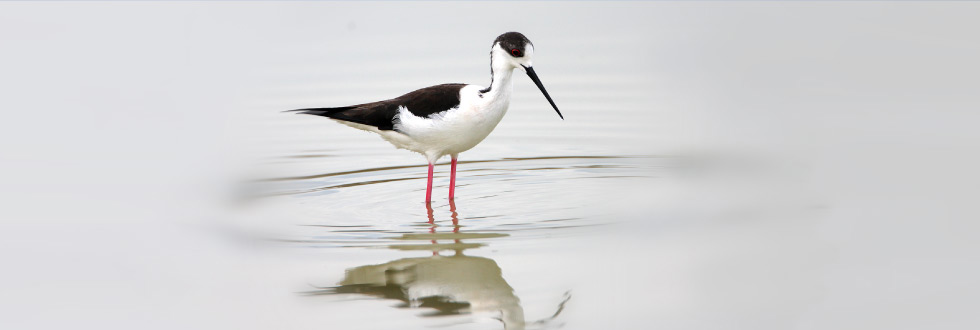 Black-winged Stilt, L. Sergides